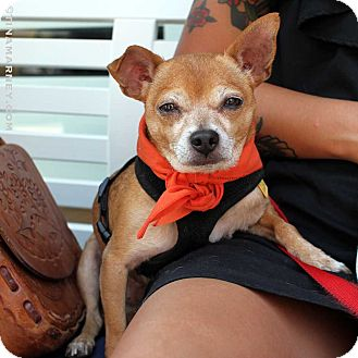 Chihuahua Mix Dog for adoption in New York, New York - Paco!