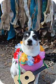 Rat Terrier Mix Dog for adoption in Rochester, Minnesota - Allie