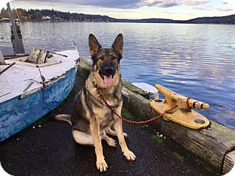German Shepherd Dog Dog for adoption in Woodinville, Washington - Viktor / ADOPTION PENDING