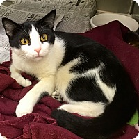 Domestic Shorthair Cat for adoption in North Wilkesboro, North Carolina - Lovey