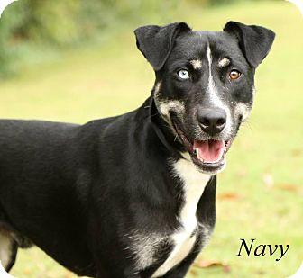 Husky Mix Dog for adoption in Watauga, Texas - Navy