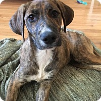 Adopt A Pet :: Aspen $125 - Seneca, SC
