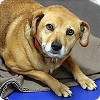 Adopt A Pet :: Jillian - Dallas, TX