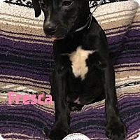 Adopt A Pet :: Fresca - Garden City, MI
