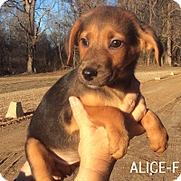 Adopt A Pet :: Alice - Southington, CT