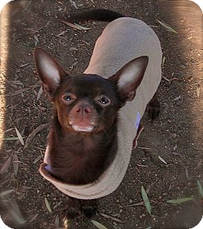 Chihuahua Dog for adoption in El Cajon, California - Hershey