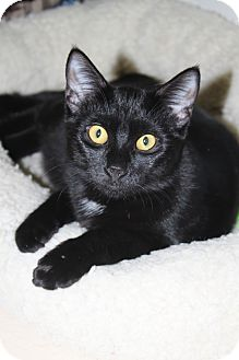 Domestic Shorthair Cat for adoption in North Branford, Connecticut - Bingo