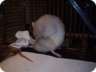 Rat for adoption in Greenwood, Michigan - Earl Grey