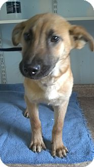 Shepherd (Unknown Type) Mix Dog for adoption in Waldorf, Maryland - Addison #417