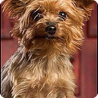Adopt A Pet :: Libby - Owensboro, KY