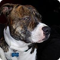 Adopt A Pet :: Odin **Courtesy Listing** - Minneapolis, MN