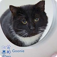 Adopt A Pet :: Goonie - Merrifield, VA