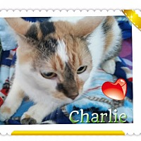 Adopt A Pet :: Charlie Girl - Harrisburg, NC