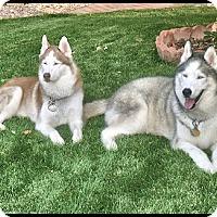 Adopt A Pet :: Sasha - Monument, CO