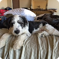 Adopt A Pet :: Caesar - Las Vegas, NV