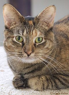 Domestic Shorthair Cat for adoption in St Louis, Missouri - Scout