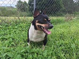 Chihuahua Mix Dog for adoption in Tavares, Florida - Chubby