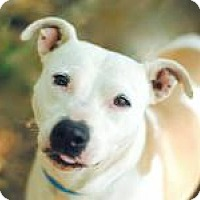 American Staffordshire Terrier Mix Dog for adoption in Chattanooga, Tennessee - Zosie