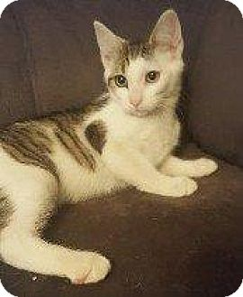 Domestic Shorthair Cat for adoption in Hampton, Virginia - SAPHIRE