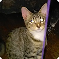 Domestic Shorthair Cat for adoption in Parkton, North Carolina - TJ