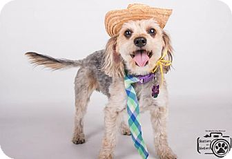 Chinese Crested/Cocker Spaniel Mix Dog for adoption in Colorado Springs, Colorado - Coleman