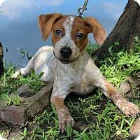Adopt A Pet :: Shirley - SOUTHINGTON, CT