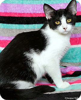 Domestic Shorthair Cat for adoption in St Louis, Missouri - Jester
