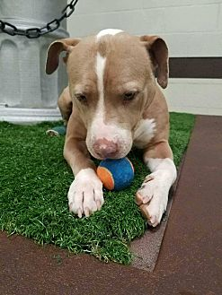 American Staffordshire Terrier Mix Dog for adoption in Cerritos, California - Bella