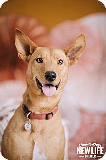 Australian Cattle Dog/Pharaoh Hound Mix Dog for adoption in Portland, Oregon - Nala