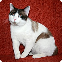 Siamese Cat for adoption in Phelan, California - Meeko