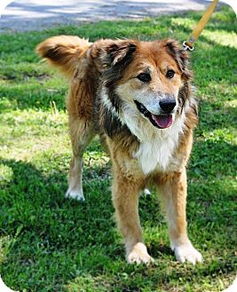 Chow Chow/Collie Mix Dog for adoption in Murphysboro, Illinois - Homer
