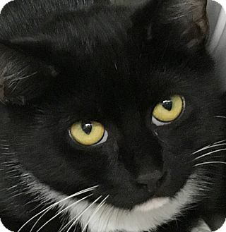 Domestic Shorthair Cat for adoption in Clayville, Rhode Island - Lucy