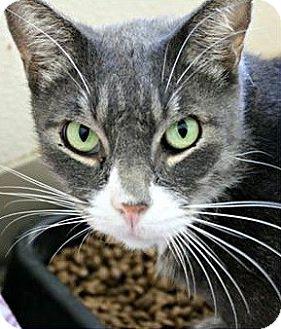 Domestic Shorthair Cat for adoption in Richland Hills, Texas - Arthur
