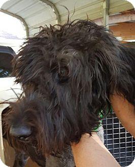Poodle (Standard) Dog for adoption in Baileyton, Alabama - Cowboy