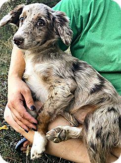 Anatolian Shepherd Mix Puppy for adoption in Starkville, Mississippi - Sydney