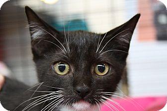 Domestic Shorthair Kitten for adoption in Sarasota, Florida - Arthur