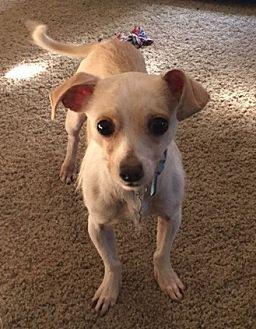 Chihuahua/Italian Greyhound Mix Dog for adoption in Southeastern, Pennsylvania - Popcorn