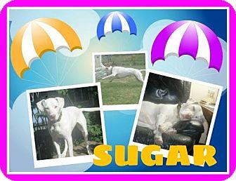 Dalmatian Mix Dog for adoption in Fort Collins, Colorado - SugarA
