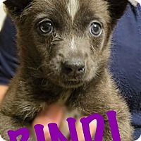Adopt A Pet :: Bindi - Fort Wayne, IN