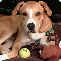 Labrador Retriever/Hound (Unknown Type) Mix Dog for adoption in Parsippany, New Jersey - Davey