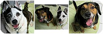 Australian Cattle Dog/Coonhound Mix Dog for adoption in Forked River, New Jersey - Curly & Moe