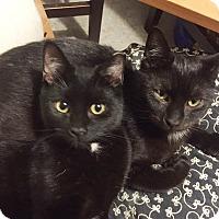 Bombay Cat for adoption in New York, New York - STINGO & SOPHOCLES
