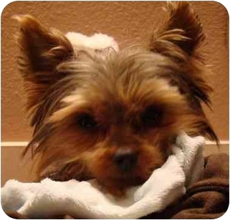 Yorkie, Yorkshire Terrier Dog for adoption in The Villages, Florida - Sammie