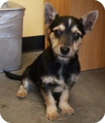 Chihuahua/Terrier (Unknown Type, Small) Mix Puppy for adoption in Sparta, New Jersey - Reese