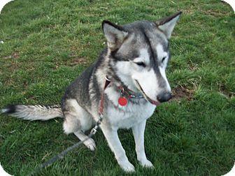 Alaskan Malamute Mix Dog for adoption in Augusta County, Virginia - Hank
