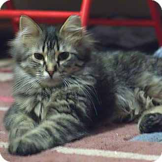 Maine Coon Cat for adoption in Colorado Springs, Colorado - K-Platt4-Misha