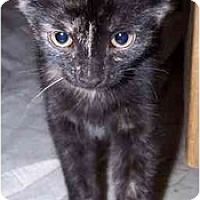Domestic Shorthair Cat for adoption in Sheboygan, Wisconsin - Ivy