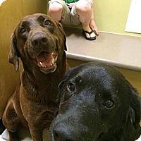 Adopt A Pet :: Darlin - Oak Brook, IL