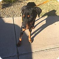 Adopt A Pet :: King - Gilbert, AZ