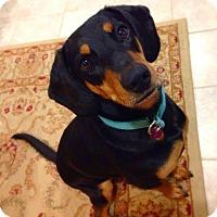 Adopt A Pet :: Kita - Rexford, NY